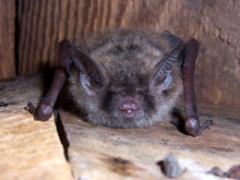 Little Brown Bat photo.