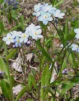 Small Forget-me-not photo.
