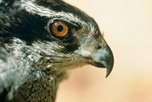 Northern Goshawk photo.