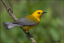 Prothonotary Warbler photo.