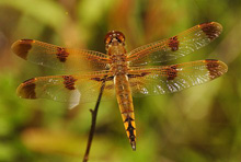 Painted Skimmer photo.