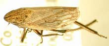 A Leafhopper photo.