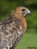 Red-shouldered Hawk photo.