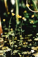 Small Yellow Water Crowfoot photo.