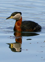 Red-necked Grebe photo.