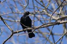 Rusty Blackbird photo.