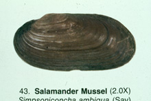 Salamander Mussel photo.