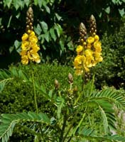 Northern Wild Senna photo.