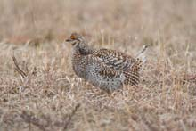 Sharp-tailed Grouse photo.