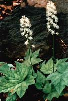 Heartleaf Foamflower photo.