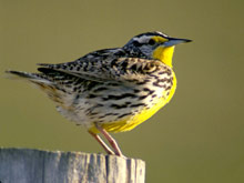 Western Meadowlark photo.
