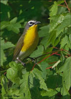 Yellow-breasted Chat photo.