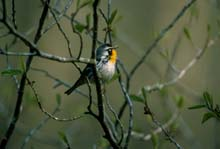 Yellow-throated Warbler photo.