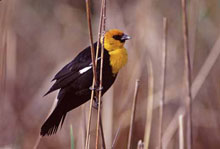 Yellow-headed Blackbird photo.