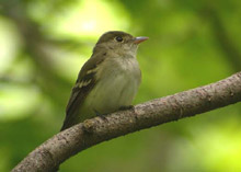 Acadian Flycatcher photo.