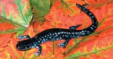 Blue-spotted Salamander photo.