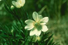 Cut-leaved Anemone photo.