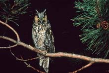 Long-eared Owl photo.