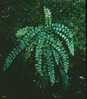 Green Spleenwort Photo by W.C. Taylor. Check the photos tab for additional photos.