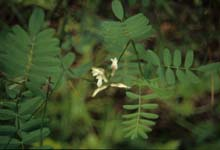 Cooper's Milkvetch photo.