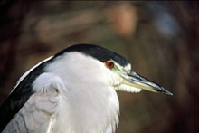 Black-crowned Night-Heron photo.