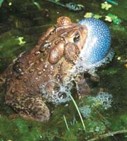 American Toad photo.