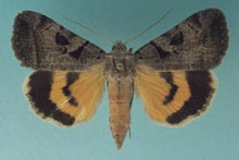 Whitney's Underwing Moth photo.