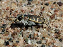 Hairy-necked Tiger Beetle photo.