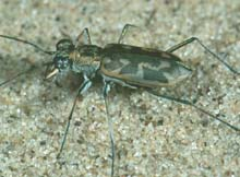 Sandy Stream Tiger Beetle photo.