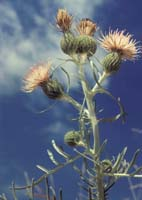Dune Thistle Photo by Kitty Kohout. Check the photos tab for additional photos.