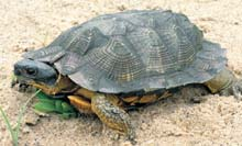 Wood Turtle photo.