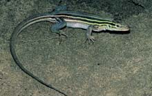 Six-lined Racerunner photo.