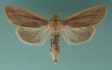 A Noctuid Moth photo.