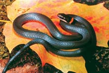 Northern Ring-necked Snake photo.