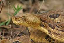 Timber Rattlesnake photo.