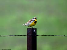 Eastern Meadowlark photo.