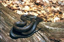 Gray Ratsnake photo.