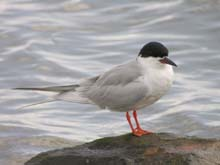 Forster's Tern photo.