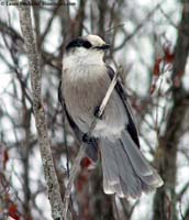 Gray Jay photo.