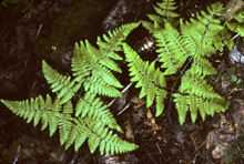 Limestone Oak Fern photo.