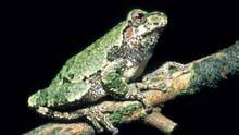 Gray Treefrog photo.