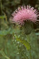 Hill's Thistle photo.