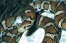 Milksnake photo.