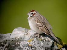 Lark Sparrow photo.