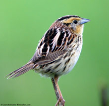 LeConte's Sparrow photo.