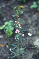 Slender Bush Clover photo.