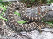 Eastern Massasauga photo.