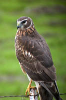 Northern Harrier photo.