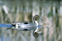 Northern Pintail photo.