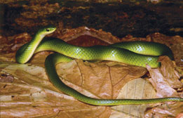 Smooth Greensnake photo.